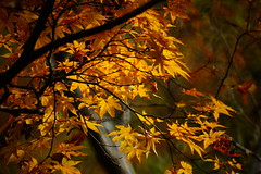 (ddsnet) Tags: travel plant japan sony autumnleaves 99  nippon   autumnal nihon  slt backpackers      osakafu     singlelenstranslucent  99v