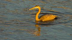 Golden Snack (ken.krach (kjkmep)) Tags: heron maryland greatblueheron susquehannariver