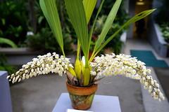 (ddsnet) Tags: travel plant orchid flower japan sony 99  nippon   nihon  slt backpackers          osakafu      flowerinjapan singlelenstranslucent 99v