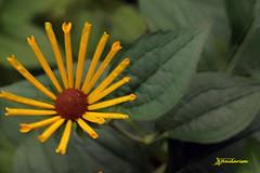 Yellow Flower (haidarism (Ahmed Alhaidari)) Tags: flower nature beautiful yellow ngc
