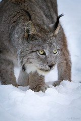 Lynx in snow (Cloudtail the Snow Leopard) Tags: wildpark pforzheim tier animal mammal säugetier winter schnee snow katze cat luchs lynx feline wildparkpforzheim cloudtailthesnowleopard