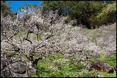 Plum Blossoms (ToddinNantou) Tags: flowers taiwan   plumblossoms  nantou  d90  sigma28mmf18 xinyitownship