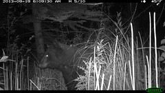 Black Bear 9/19/14 (5/8) (Aspen Center for Environmental Studies) Tags: bear camera mammal colorado wildlife cam trail aspen aces blackbear omnivore trailcamera trailcam cameratrap wildlifecamera aspencenterforenvironmentalstudies