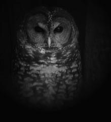 Injured Owl (gcquinn) Tags: sanfrancisco owl injured naturesfinest firsttheearth oilspillnov07 marinwildcare