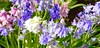 Blue Bluebells And More (I Flickr 4 JOY) Tags: pink blue white bluebells spring jubilant squamish springflowers signofspring whitebells pinkbells