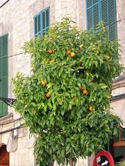 Valldemossa (35) (whittakermj4) Tags: street orange tree arbol mallorca naranja valldemossa