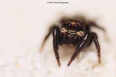 IMG_6265 2 (MAC'Sime Photographie (Maxime Jouet)) Tags: macro nature animal animaux maison insecte insectes verdure araigne dtail macrographie