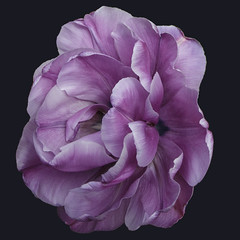 these improve as they open! (Wendy:) Tags: purple tulip