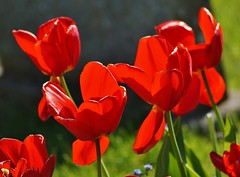 Nearly over (dlanor smada) Tags: flowers red tulips oxfordshire contrejour oxon thame