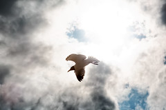 Lost In the Sun (snapdragginphoto) Tags: sun sunlight storm bird beach clouds day gull northcarolina thunderstorm atlanticbeach laughinggull