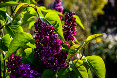 Red Lilac in the sun..... (scorpion (13)) Tags: flowers sun plant color tree art nature leaves photo spring bush bokeh creative lilac