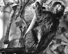 Monkey (heiko.moser) Tags: bw blancoynegro nature animal canon zoo monkey mono tiere blackwhite noiretblanc natur natura nb sw monochrom tierpark schwarzweiss nero animale nahaufnahme tier affe schwarzweis heikomoser 1004004556lisusmii