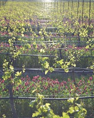 Light in the vineyard (susie.garay) Tags: oregon vineyard vines northwest rows grapes winecountry yamhill crimsonclover willamettevalley