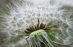 Whats the time mr wolf (morey.kenneth) Tags: clock closeup dandelion seeds dispersal parachutes