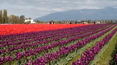 Tulip Fest (10 of 26) (evan.chakroff) Tags: flowers festival washington spring unitedstates tulips tulip april mountvernon tulipfestival mtvernon roozengaarde 2016