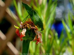 Green Katydid - Caedicia simplex (Julies Camera) Tags: green grasshopper katydid hopper nzgrasshoppers