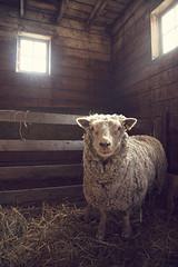Ewe (gr_avey) Tags: barn sheep south down lambs hay ewe southdown