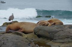 Sea seals 2 (usov.usov) Tags: california usa la san diego seal jolla