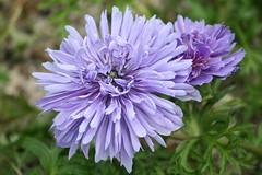 A Study in Purple (eyriel) Tags: flower macro nature beauty garden purple bokeh lavender