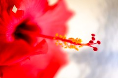 Hibiscus Flower No. 1 (Rice Bear) Tags: red flower macro yellow hawaii us unitedstates velvet hibiscus stamen tropical dreamy tropics filament kihei anther