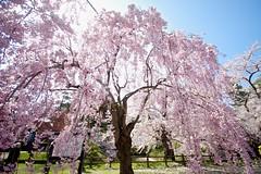 Big pink weeping cherry (tez-guitar) Tags: flower castle japan cherry spring pentax blossoms petal cherryblossom sakura pentaxart