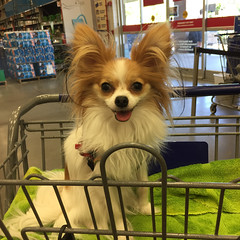 riding high and loving it (mimbrava) Tags: dog molly mimbrava papillon arr allrightsreserved mimbravastudio mimeisenberg