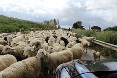 Rush hour in Sicily (ec1jack) Tags: trip italy holiday march spring europe mediterranean sheep may goats april sicily heard sheperd 2016 kierankelly ec1jack canoneos600d