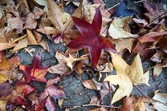 Bucando el orden en el caos (Noelegroj (More than 6 Million views.Thank you all) Tags: chile autumn naturaleza nature hojas leaf dof cement textures otoo cemento texturas lowangle profundidadecampo angulobajo