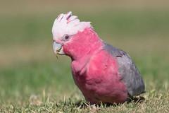 Cute Galah 1   (satochappy) Tags: bird sydney parrot australia galah