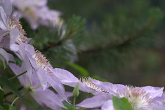 Clematis (KsCattails) Tags: yard spring nikon pastel clematis lavender depthoffield d7000 kscattails