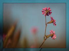 Nati sulla sabbia in riva al mare  ...! (Betti52) Tags: italia fiore ravenna casalborsetti