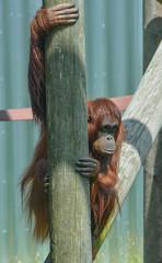 Joly (Carine06) Tags: dorset orangutan ape primate monkeyworld joly ktt2623