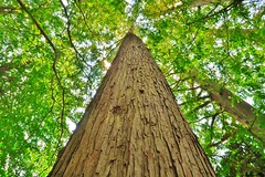 Trunk (namhdyk) Tags: trees tree green forest canon woods grove trunk  metasequoia canonpowershot  canonpowershotg7x