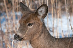 2016 White-tailed Deer (DrLensCap) Tags: park winter chicago robert nature animal mammal illinois village north center il deer whitetailed