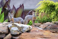 Texas Gray Fox Kits (GoodwinGirl) Tags: urban nature wildlife fox kits grayfox backyardwildlife urbanfox cityfox nikond600 foxkits texasgrayfox texasfox grayfoxkits