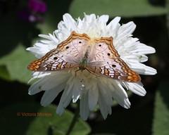 White peacock (Victoria Morrow) Tags: