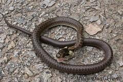 bjelouka, Pleivica (mdunisk) Tags: bjelouka natrixnatrix zmija zmije neotrovnica vodarica parkprirodezumberackosamoborskogorje pleivica kotari terihaji oki otrc umberak umberakogorje samoborskogorje
