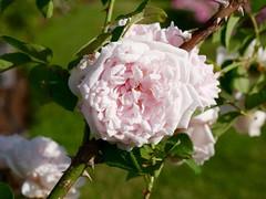 Rose (heldermira) Tags: park summer urban plant flower rose lumix blossom outdoor citylife panasonic urbanpark microfourthirds gx85