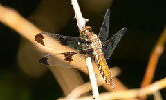 7K8A5077 (rpealit) Tags: nature female forest scenery state dragonfly wildlife stokes common whitetail