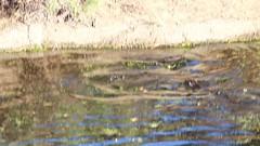 Otters (Sam Schmidt) Tags: california campus arboretum davis otters ucdavis