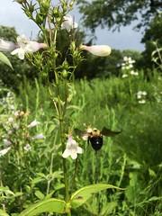 Bee & Penstemon, Native Plant Garden, NYBG (Kristine Paulus) Tags: nybg bee penstemon npg nativeplants
