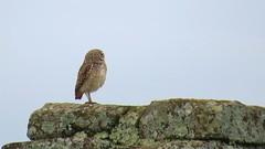 little owl