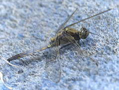 Black-tailed Skimmer Male   Orthetrum cancellatum (Kentish Plumber) Tags: male nature kent dragonfly wildlife fullframe visitorcentre kwt blacktailedskimmer orthetrumcancellatum  boughbeech kentwildlifetrust