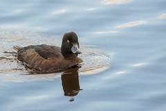 What are u looking at?! (Juha Kinnunen) Tags: duck tufted aythya fuligula tukkasotka