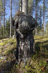 Surtr (ikithule) Tags: trees face forest lapland mythology myth mets edda syksy luonto ranta puita kasvot seita pahka hahmo ragnark jannemaikkula myytti surtr mytologia ikithule asaculture aasakulttuuri vaniculture vaanikulttuuri