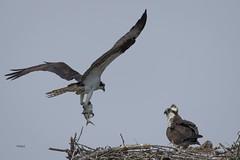 """Blue Fish for Breakfast"" (turtlehawk) Tags: family nature birds fun outdoors wildlife osprey bethanybeach bluecoast ospre"