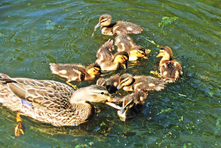 Mallard Duck and Ducklings 16-0604-0318