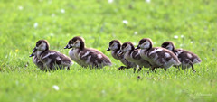 Mommy, wait up (Paula Darwinkel) Tags: baby cute nature birds animals geese wildlife young goose goslings egyptiangoose