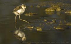 Echassons reflet (Claude Pokropek) Tags: nature sony reflet tamron oiseaux a77 mazres 150600 domainedesoiseaux