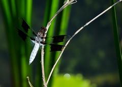 Common Whitetail Dragonfly (Igor Sorokin) Tags: common whitetail dragonfly insect bokeh green grass macro closeup dslr nikon d53000 nikkor 18300